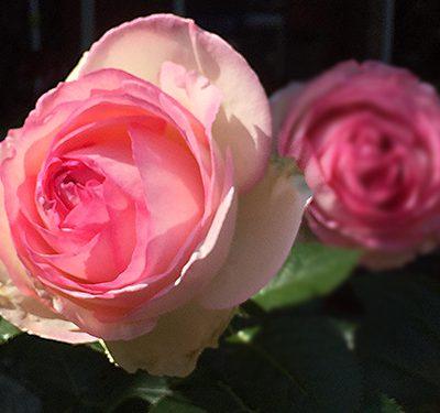 flo_20180429_rose500